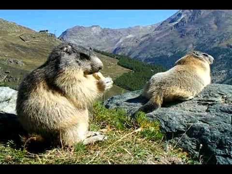 Life in #Switzerland is hard even for the #Marmots in Saas-Fee #Valais ... (Video Uploaded by murmeli1981)