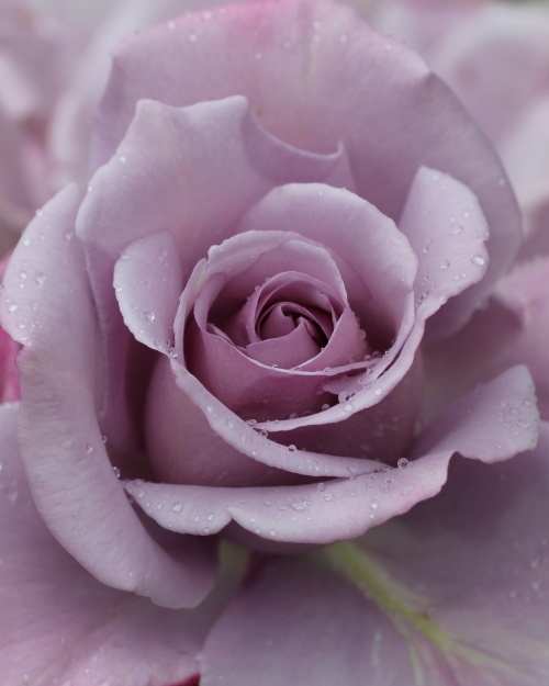 Sterling Rose! My favorite flower!Beautiful Flower, Sterling Rose, Favorite Things, Thornless Rose, Purple Rose, Flower Gardens, Favorite Rose, Beautiful Rose, Favorite Flower
