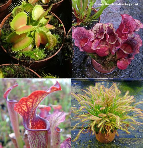 Potted carnivorous plants