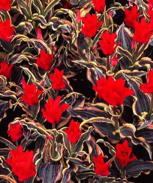 Tulipa - Fire of Love - Tulip Bulbs for sale