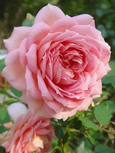 'La Ville De Bruxelles' ~ a damask rose. One of the most sublime of old roses, very fragrant, produces one of the largest blooms among the old roses