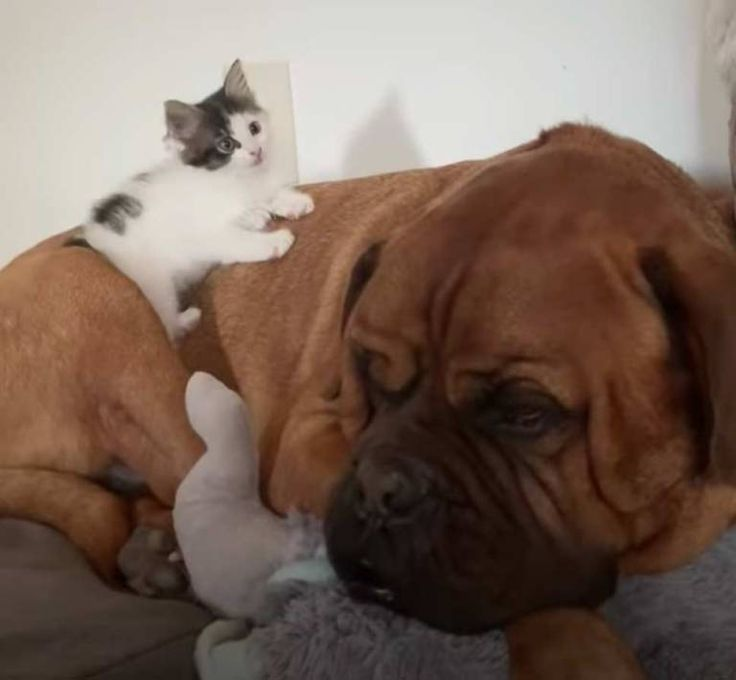 135 Pound Mastiff Becomes Obsessed With A Tiny Kitten We Love Cats And Kittens In 2020 Tiny Kitten Shelter Kittens Animals Friendship