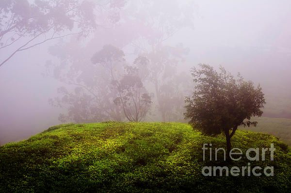Ghost Tree In The Haunted Forest. Nuwara Eliya. Sri Lanka by Jenny Rainbow.  #Tree #SriLanka #Ceylon #WallArt #FramedPrint  #FineArtPhotography #FineArt #Photography #Haunted #FineArtLandscapes #JennyRainbowFineArtPhotography #Canvas #FineArtPrints #Landscape #Fog It was one of the most foggy forest I ever see in high land of Ceylon - Nuwara Eliya. And I got the car with local driver and went to explore those magnificent places and famous tea plantations..
