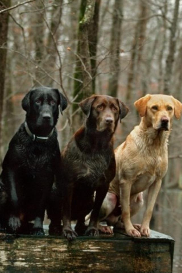 Black, chocolate and yellow lab! Maybe one day we will get ...