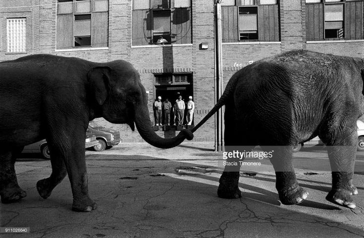 Ringling Brothers elephants walk from the train to the United Center in preparation for the circus on November 18, 1991, Chicago, Illinois, United States.
