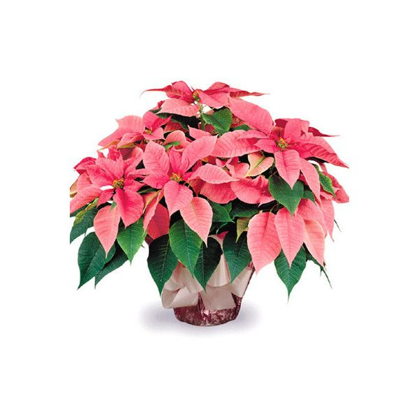 Fancy Pink Poinsettia Plant #P122P ❤ liked on Polyvore featuring home, home decor, floral home decor and pink home decor