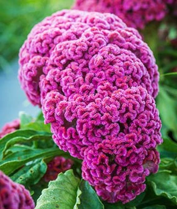 How To Grow Crazy Colorful Celosia Flowers Gardener S Path Coral Flowers Celosia Flower Flowers