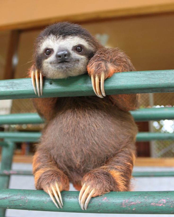 baby sloth at the sloth sanctuary in Costa Rica.