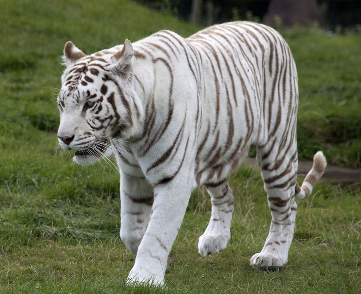 If you think a white tiger is an albino tiger, you are not alone and White Tiger Facts for Kids has heaps of interesting facts about these rare cats.
