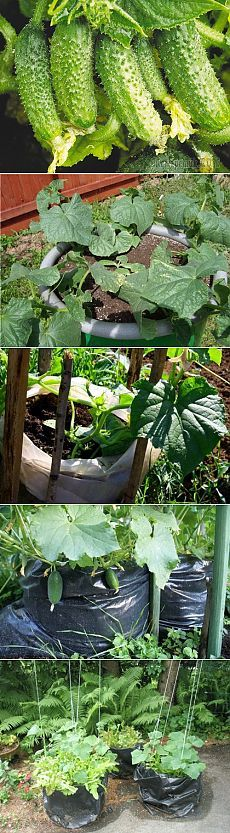 3 способа выращивания огурцов, которые дадут отличный урожай