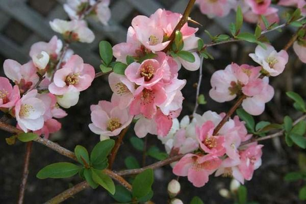 Chaenomeles 'Toyo Nishiki' (Japanese Quince) is a medium-sizeddeciduous shrub with abundant clusters of reddish, pink and white blooms, up to 1.5 in. across (3-4 cm). Borne on thorny, tangled, leafless branches, they bloom in profusion for a few weeks in early spring, creating a brilliant floral display at a time when there is little to be excited about in the garden.