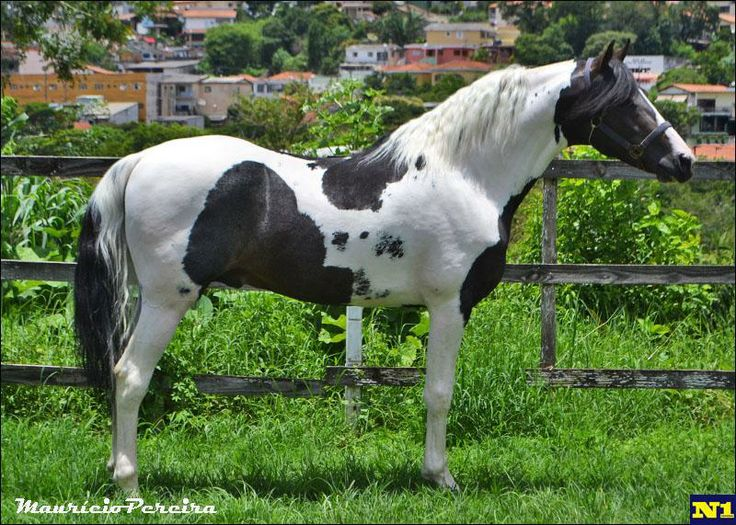 Pinto Mangalarga horse - The Mangalarga horse was developed in Brazil in the 1800s by crossing the Thoroughbred, Arabian, American Saddlebred, and Lusitano