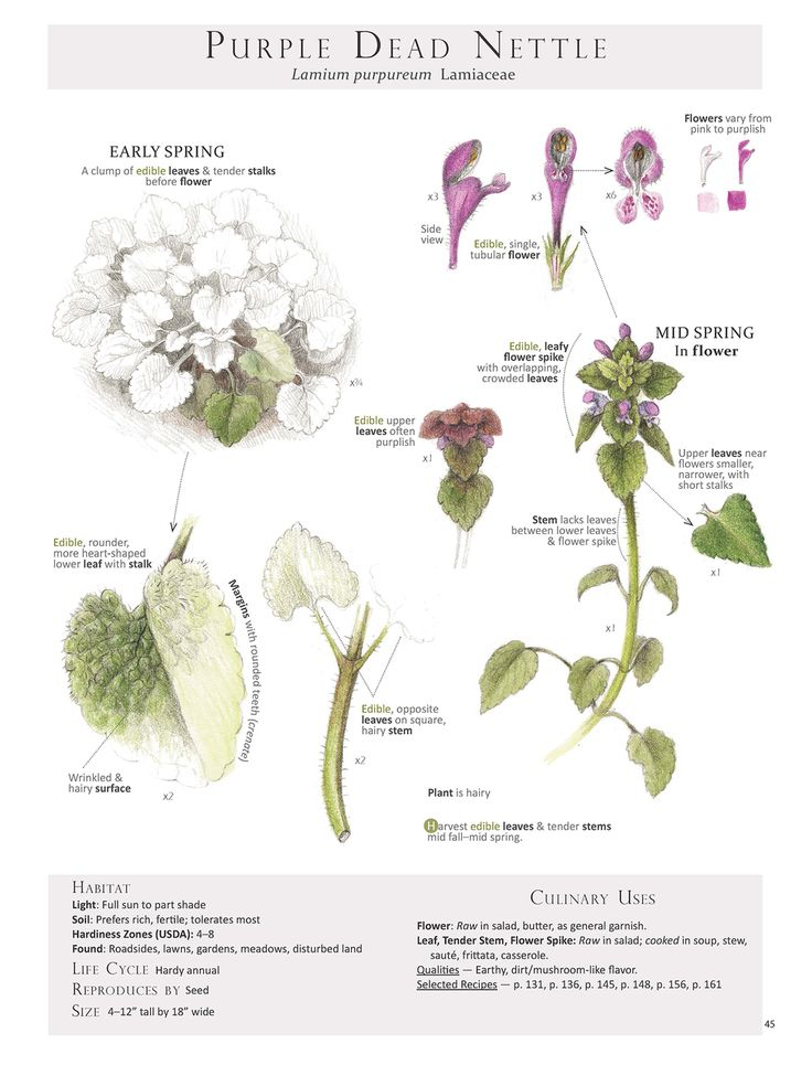 Purple Dead Nettle. These are pages from the book Foraging & Feasting: A Field Guide and Wild Food Cookbook by Dina Falconi and illustrated by Wendy Hollender. Published by Botanical Arts Press. Learn more about the book and how to purchase at www.botanicalartspress.com.