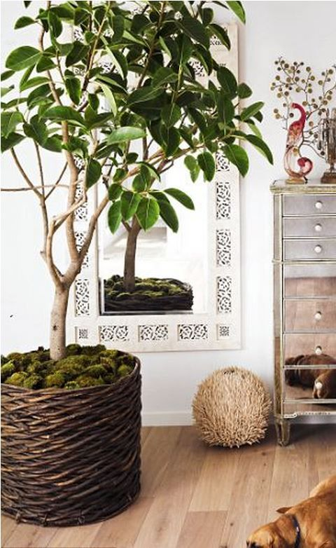 Big indoor plant in a woven basket