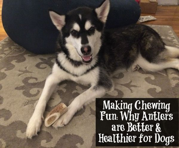 Looking for the perfect chew toy for your dog that is durable & healthy? Learn why you should consider giving your dogs antlers & why they are a better choice here!