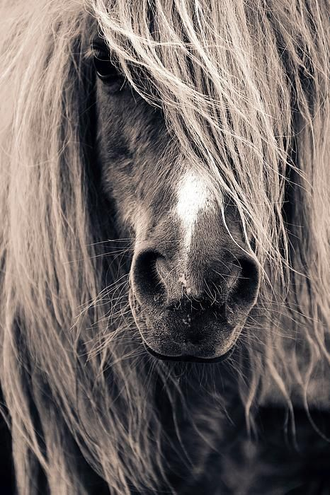Shetland Pony Close-up. For sale too. The picture, not the pony. :-)