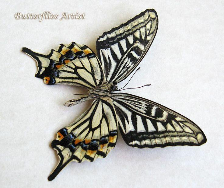 Japanese Machaon Papilio Xuthus Real Butterfly Museum Quality In Shadowbox by ButterfliesArtist on Etsy