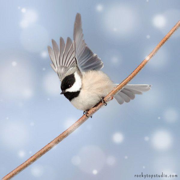 Fine art photography print of a sweet little chickadee in the snow by Allison Trentelman.