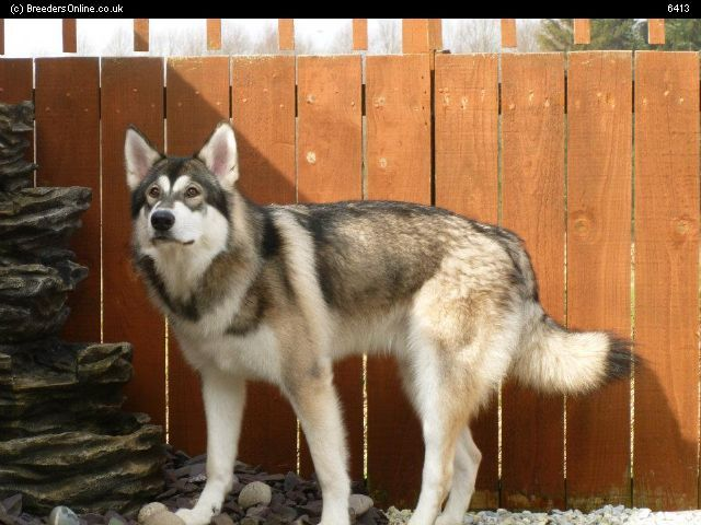 Wolf Dog Puppies For Sale Scotland