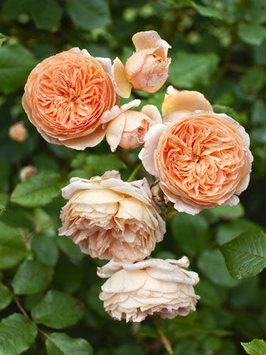 Not all roses have to be red! Grow the 'Crown Princess Margareta' rose to add some bright color to your garden. #landscaping