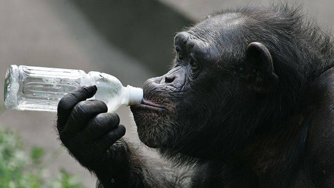 Chimps alcohol | Jungle juice! Wild chimpanzees regularly drink alcohol, scientists ...