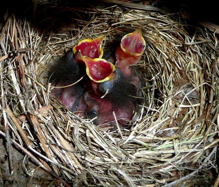 Robins...I raised a bunch of these :o) | Backyard birds ...