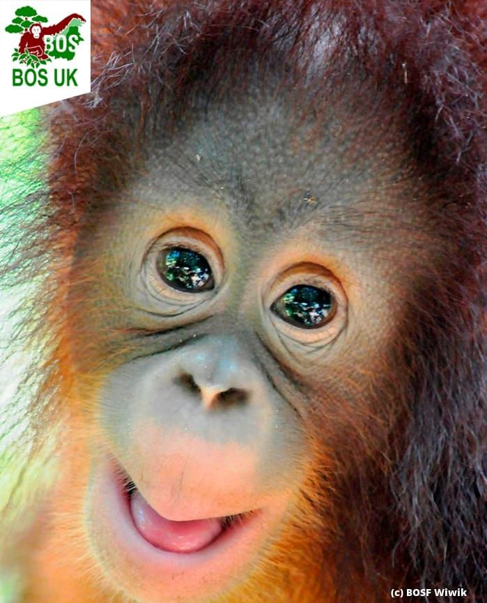 "Borneo Orangutan Survival UK on Instagram: ""A beautiful, very happy  orangutan to make you smile on this #InternationalDayofHa… | Borneo  orangutan, Orangutan, Borneo"