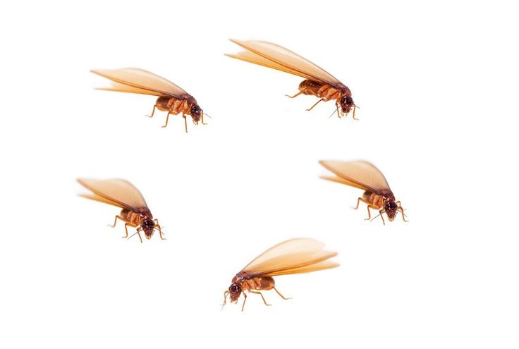 various shots of termite or white ant alates (flying termites)