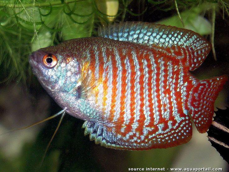 Trichogaster lalius (Colisa lalia, Gourami nain) - AquaPortail