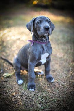 Blue Great Dane, this is what I'll get when I have a few thousand dollars lying around.---------looks like storm!!! RIP my sweet baby girl (4/27/14-7/27/14)