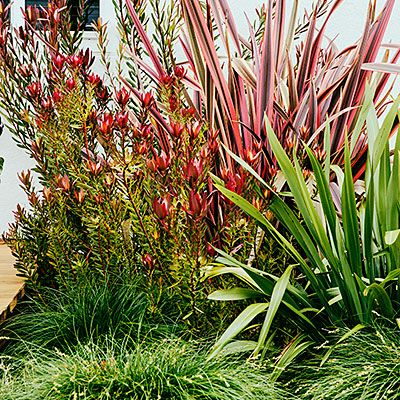 Leucadendron 'Safari Sunset', 'Maori Queen' phormium, silvery green phormium and deep green Carex tumulicola
