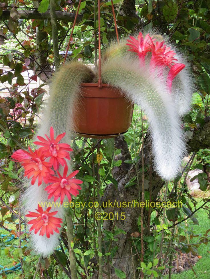 Cactus Seeds - Cleistocactus winteri ssp. colademono 'Monkey Tail Cactus'