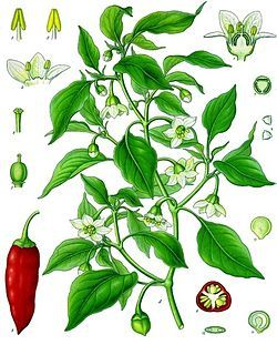 Capsicum annuum - Cayenne pepper. The cayenne pepper, also known as the Guinea spice,[1] cow-horn pepper, aleva, bird pepper,[2] or, especially in its powdered form, red pepper, is a cultivar of Capsicum annuum related to bell peppers, jalapeños, paprika, and others. The Capsicum genus is in the nightshade family (Solanaceae). It is a hot chili pepper used to flavor dishes. It is named for the city of Cayenne in French Guiana.