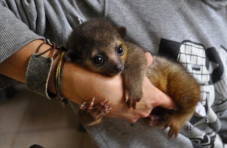 An example of a baby kinkajou.