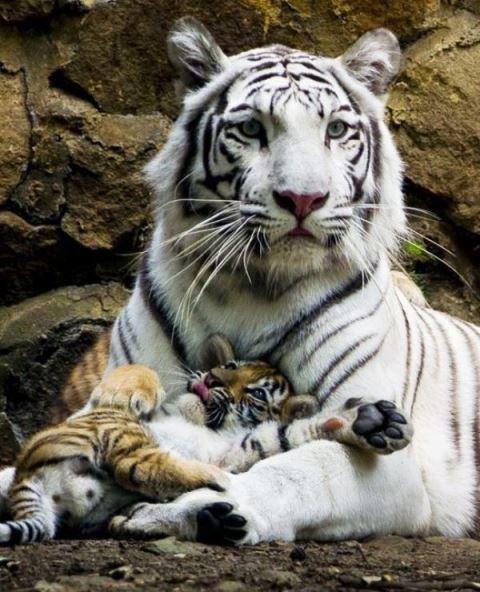 Beyaz Bengal Kaplanı Yavrsunu kucaklamakta