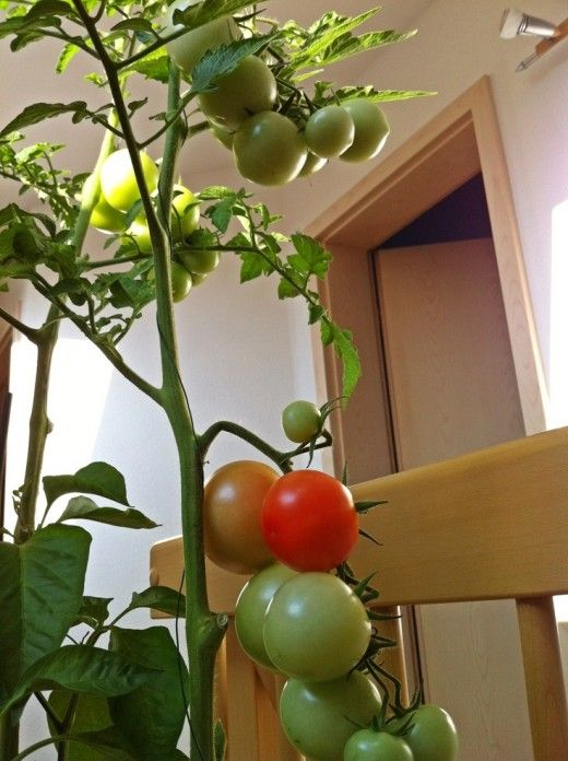 You can easily grow tomatoes indoors at a south facing window. Give your tomato plant banana peelings, egg shells, and coffee grounds. Put them in small holes around the plant and cover them. You'll grow great fresh tomatoes. CLICK PHOTO for how to grow indoor tomatoes.