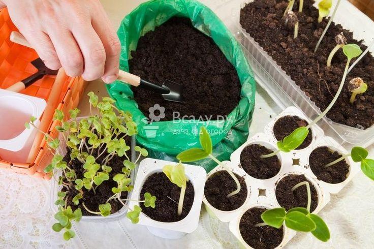 Сроки посадки семян овощей на рассаду  Сроки посадки семян овощей на рассаду. Высаживаем помидоры, баклажаны, перец, брокколи, капуста, сельдерей, репчатый лук, тыква, ремонтатная земляника