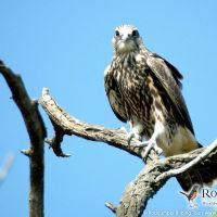 Saker Falcon by Janos Bagyura