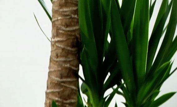 Tra le piante d'appartamento la yucca è una delle più diffuse: il motivo? Molto facile da curarla, la sua simpatica chioma rende tutto più allegro: non a caso è anche comunemente chiamato il tronchetto della felicità!Yucca, dove metterla La yucca è una pianta che ama la luce del sole, anche di...
