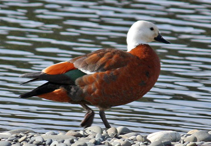 Paradise Shelduck (Tadorna variegata). A large, striking looking goose-like duck endemic to New Zealand.  Male is mostly black and is similar to Australian male in color but lacks the chestnut breast; female has head and neck of pure white and body is rich chestnut.  Nesting Area: New Zealand, but rare in the north.   Photo: Nicki Mora.