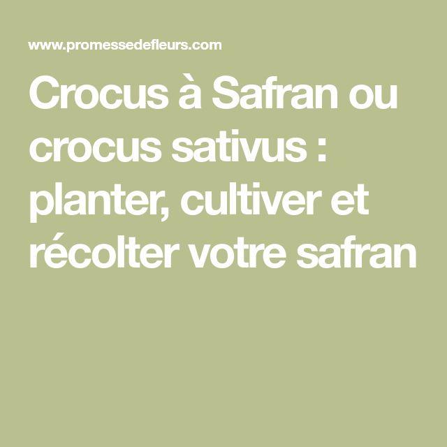 Crocus à Safran ou crocus sativus : planter, cultiver et récolter votre safran