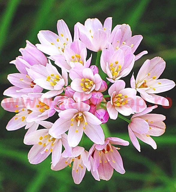Bulbi Allium Roseum (Ceapa decorativa)