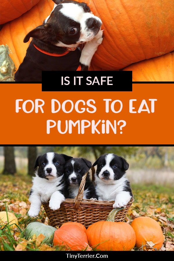 pumpkin bad for dogs
