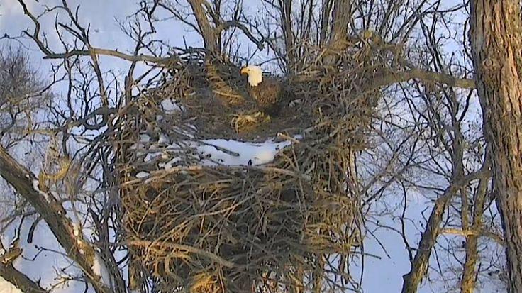 Orel Bělohlavý – webkamera, Eagles nest