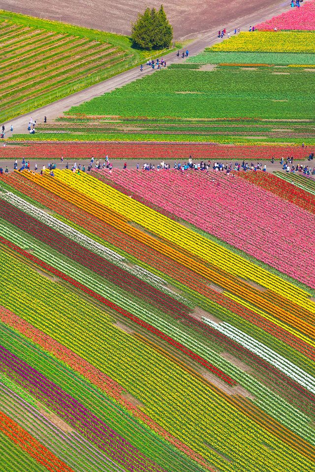 Patterns Of Tulips From The Air - Skagit Valley Tulip Fields, Mt. Vernon, Washington State