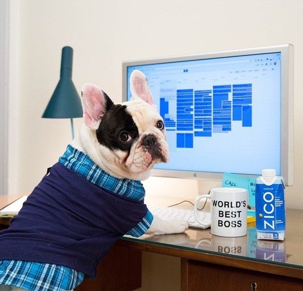 Be the boss and drink coconut water | 22 Frenchies Who Are Just Like You