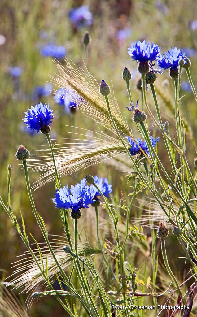 Cornflowers near Mosier, Oregon in the Columbia River Gorge.
