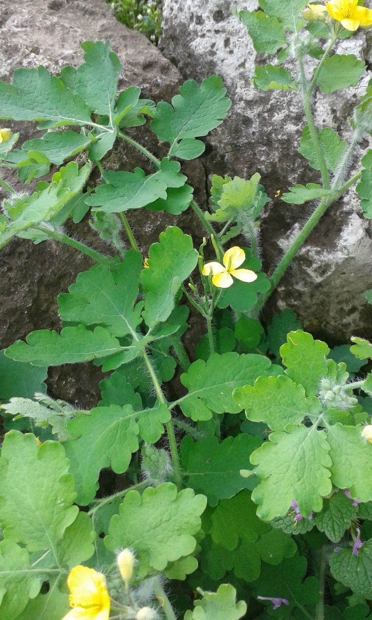 A vérehulló fecskefű - ez a közvéleményt megosztó gyógy- és gyomnövény, - ha bárhol (szárát vagy levelét) megtörjük, sajátságos sárga nedvet bocsát...