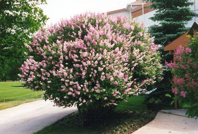 36 best shrubs that flower images on pinterest shrubs for Low maintenance fall flowers