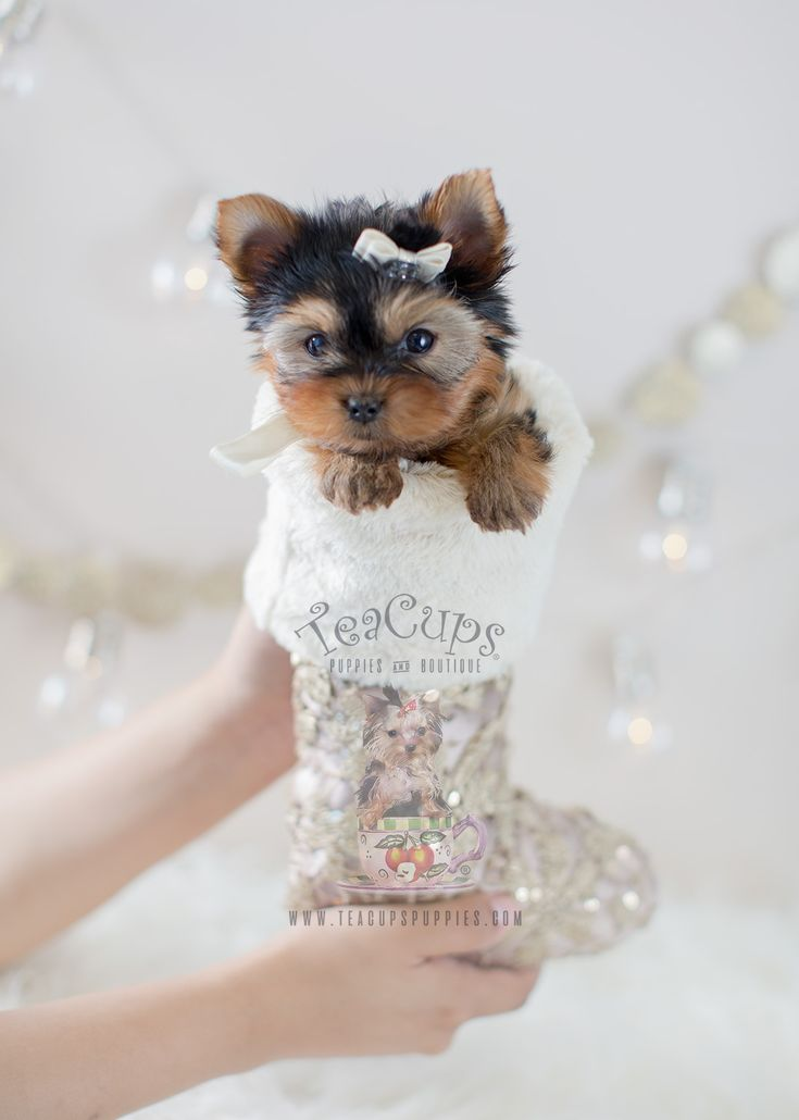 toy yorkie puppies 188 best teacup yorkies yorkie puppies images on pinterest 951